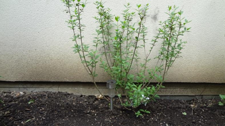 Arbuste à fleurs blanches