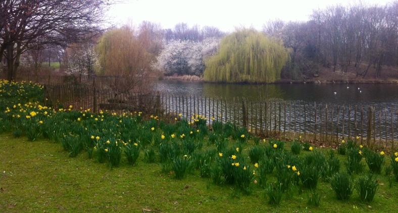 Narcisses le long du lac