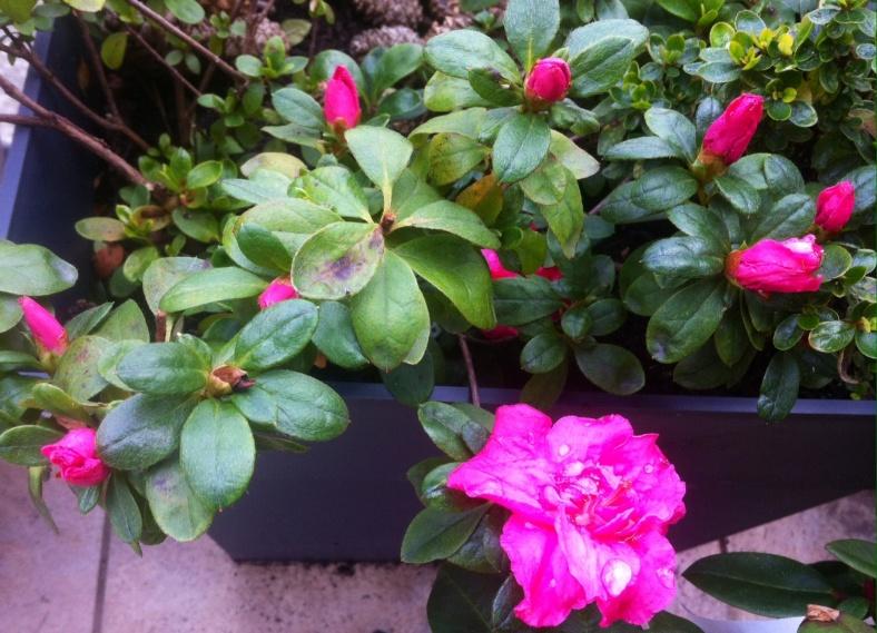 Azalée et sa floraison fushia au printemps
