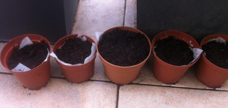Bulbes de begonias plantés dans de petits pots, à l'ombre