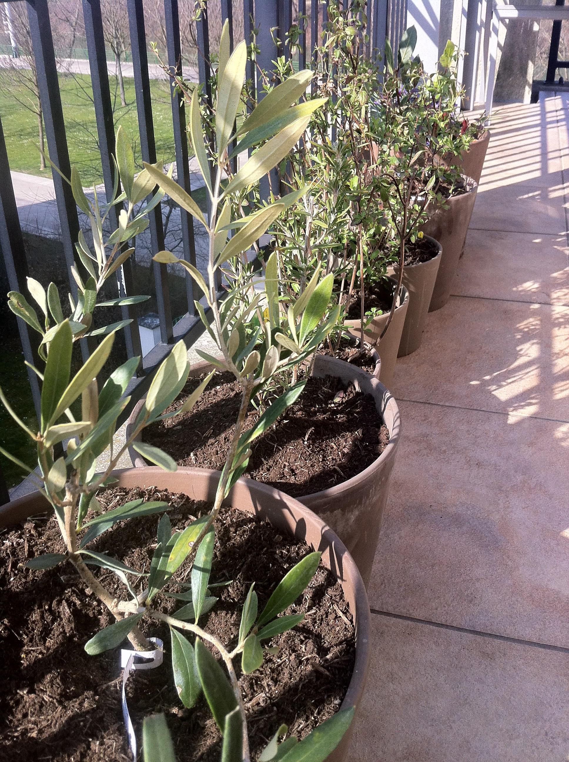 olivier en pot terrasse cool faites livrer cet adorable olivier de ans un cadeau symbole de. Black Bedroom Furniture Sets. Home Design Ideas