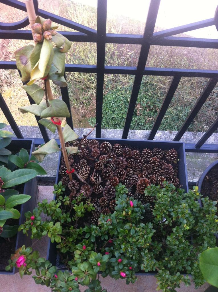 Mon camélia malade, soigné avec une nouvelle couche épaisse de terre de bruyère, et de pommes de pin
