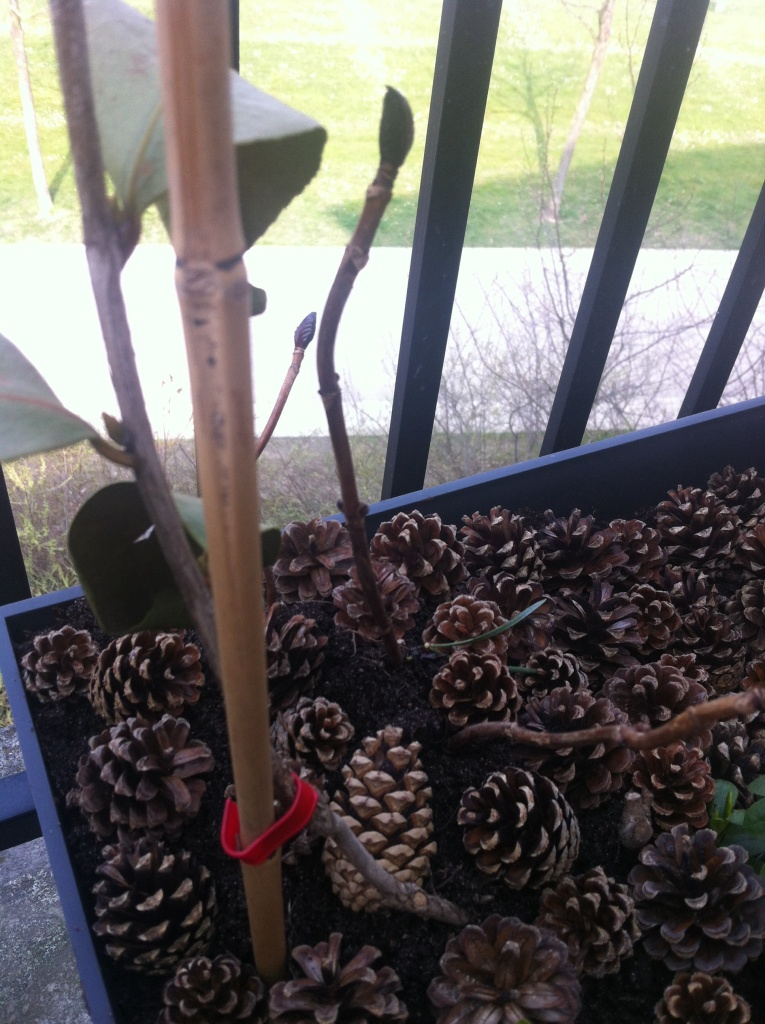 Nouvelles pousses au pied de mon camélia malade, soigné avec une nouvelle couche épaisse de terre de bruyère, et de pommes de pin