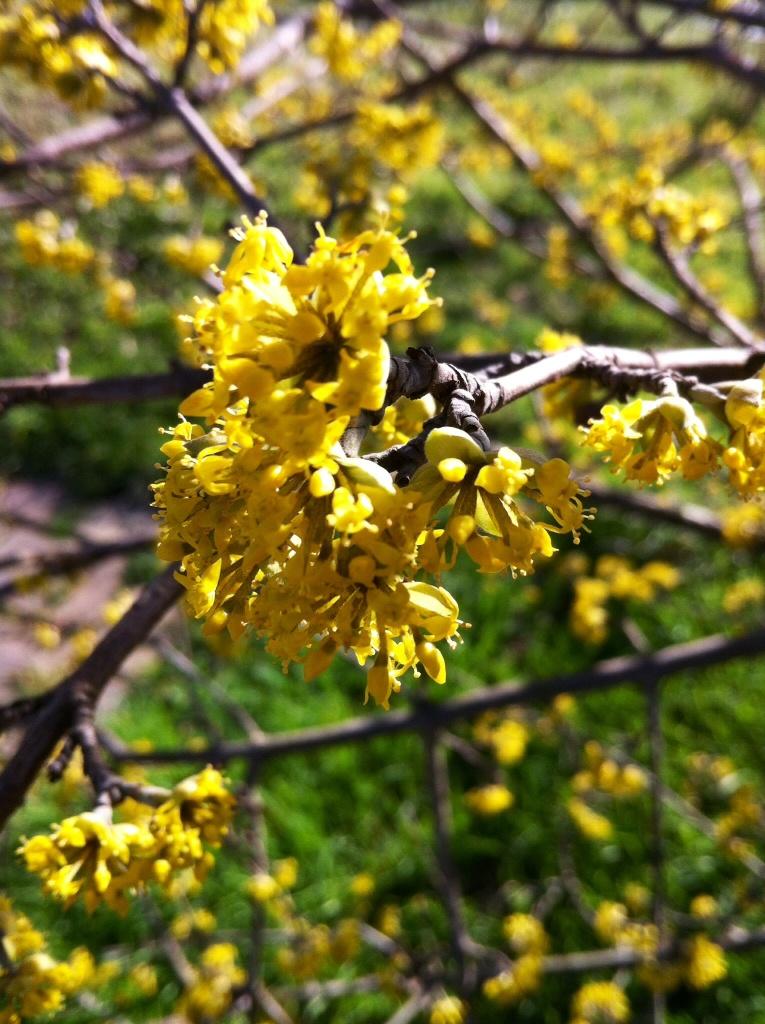 Petits bouquets de fleurs jaunes très fournis en branches