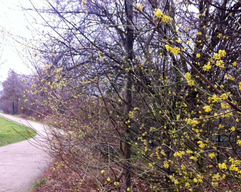 Allée le long des quais de Seine, avec haie de fleurs jaunes