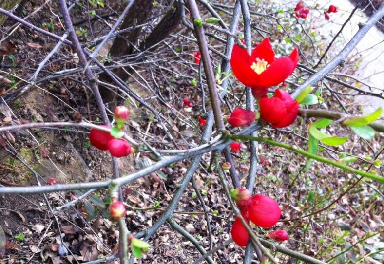 Arbuste à petites fleurs rouges passion