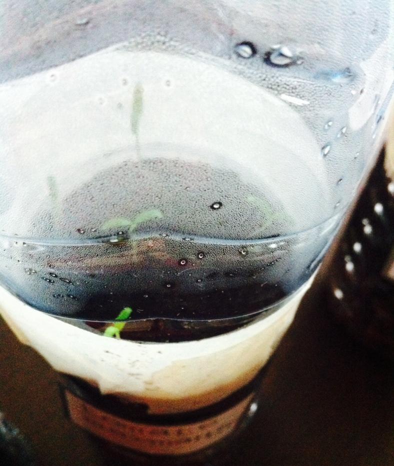 Méthode de semis de tomates Marmande en bouteilles à J+10