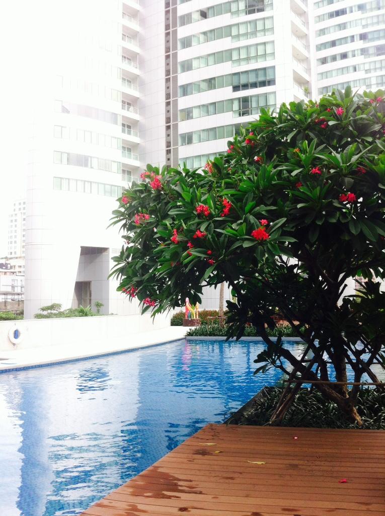 frangipanier aux fleurs roses, en bordure de piscine