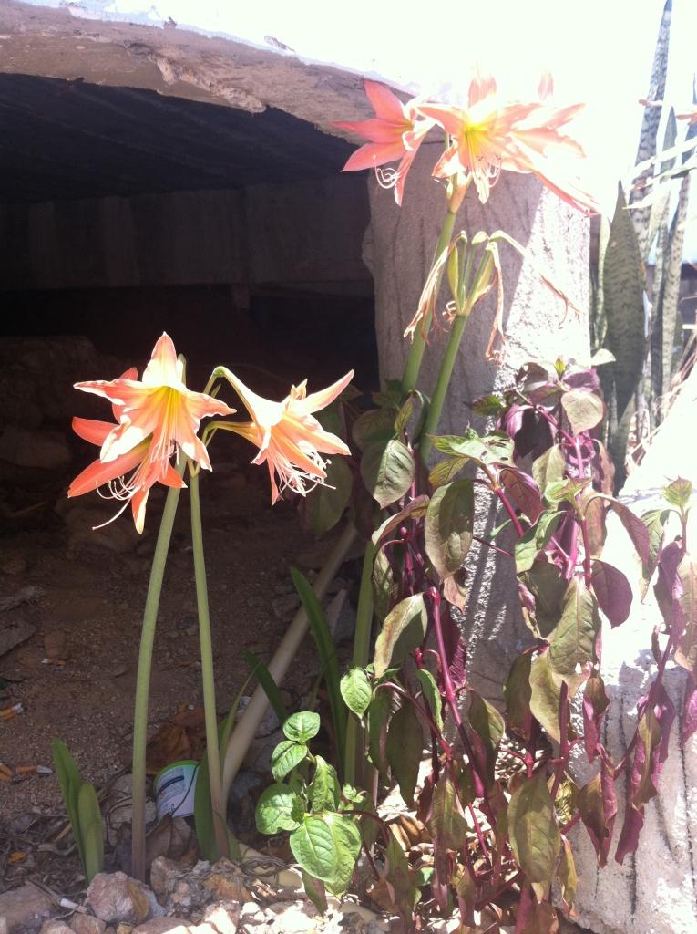 des fleurs oranges-saumon poussant au pied du bungalow, en plein soleil
