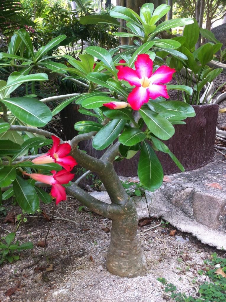 ce mini arbuste, au tronc puissant et aux fleurs éclatantes