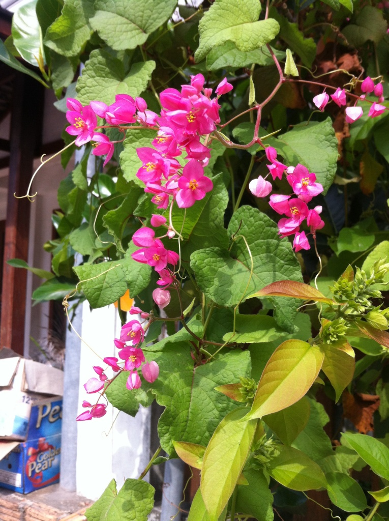 Fleurs fushia, simples, sur un arbuste retombant