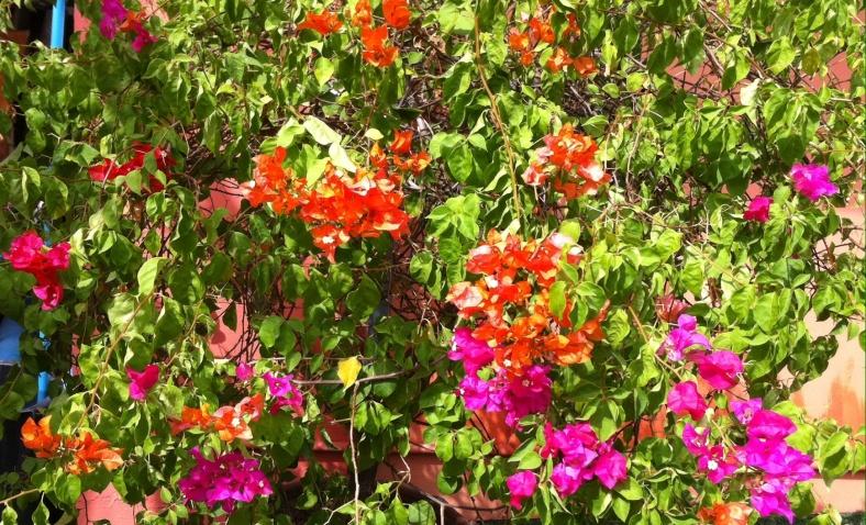 Bougainvilliers rouge et rose