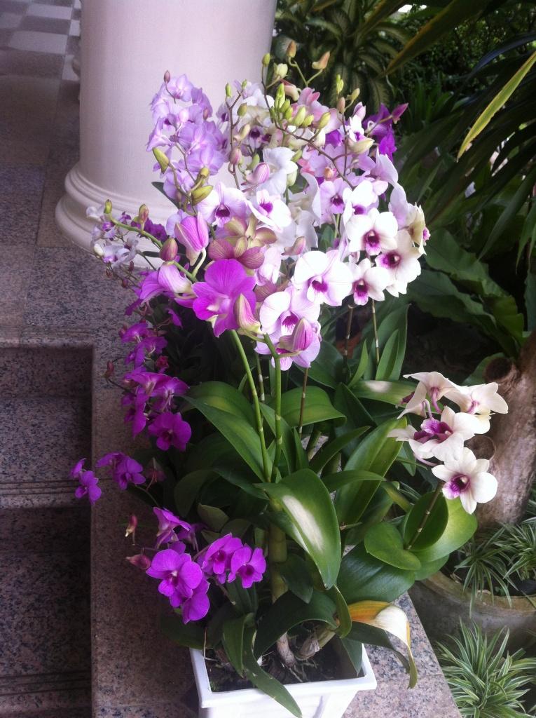 Orchidées en pots chez une amie