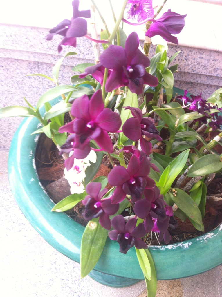 Orchidées pourpres en pots chez une amie