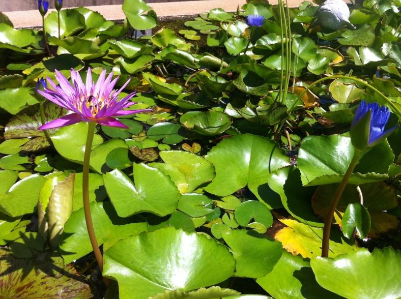 Nénuphars violets et bleus