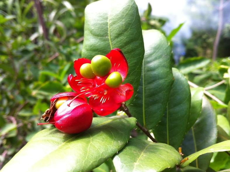 Zoom sur des petites fleurs rouges en petite boule