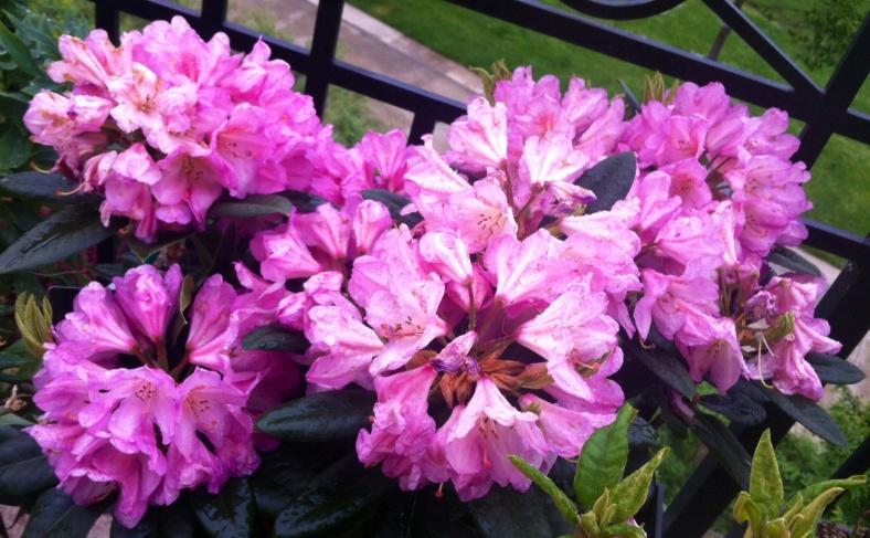 Rhododendron en fleurs à mon retour, épanouies :)