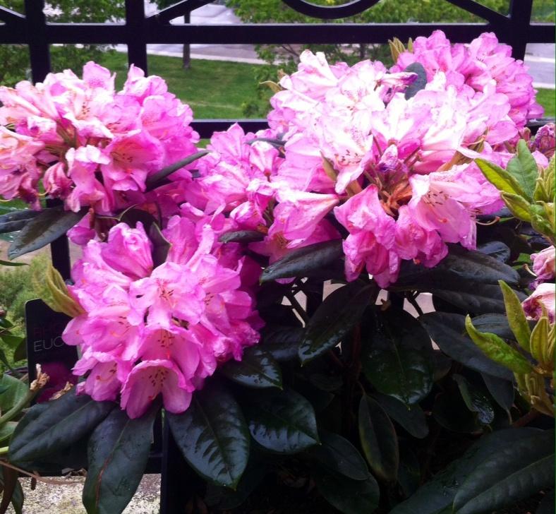 Rhododendron en fleurs à mon retour, autre vue