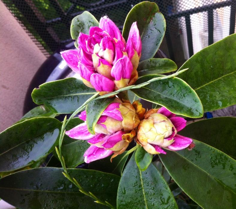 Rhododendron Gomer Waterer, dont les fleurs commencent à paraître timidement