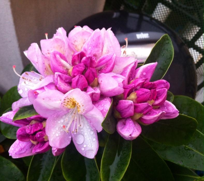 Rhododendron Gomer Waterer, dont les fleurs commencent à éclore doucement
