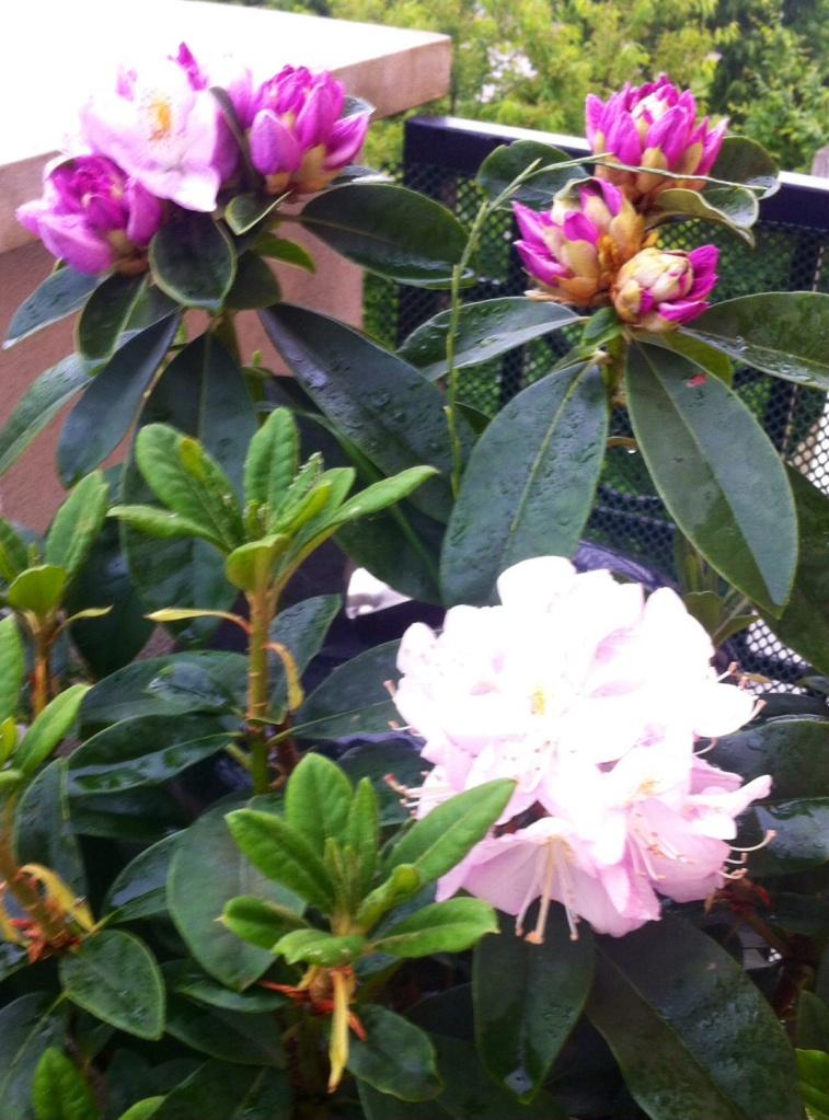 Rhododendron Gomer Waterer, dont les fleurs en bouquets pointent leur nez, un peu en retard par rapport à la saison