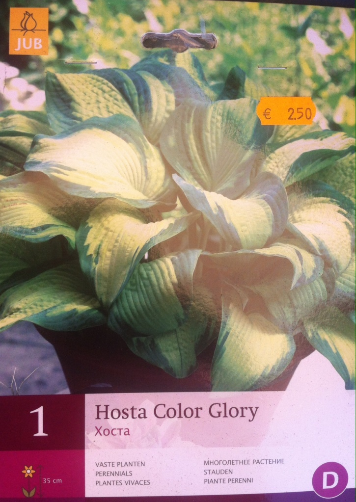 Hosta color glory