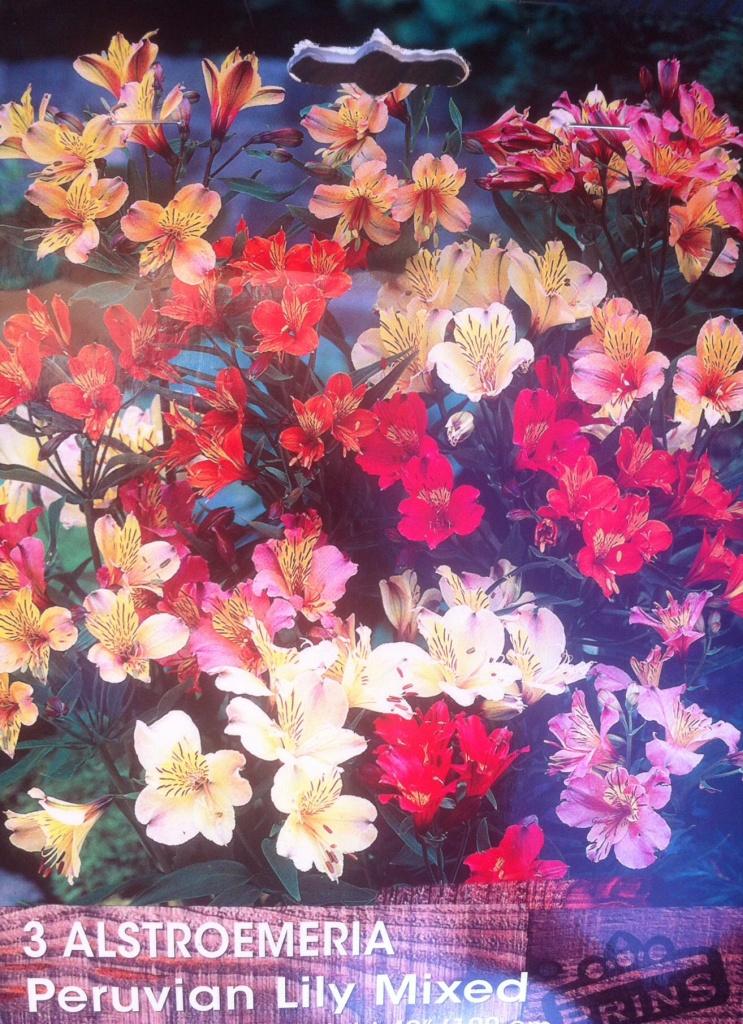 Alstroemeria, lys des incas en 3 bulbes