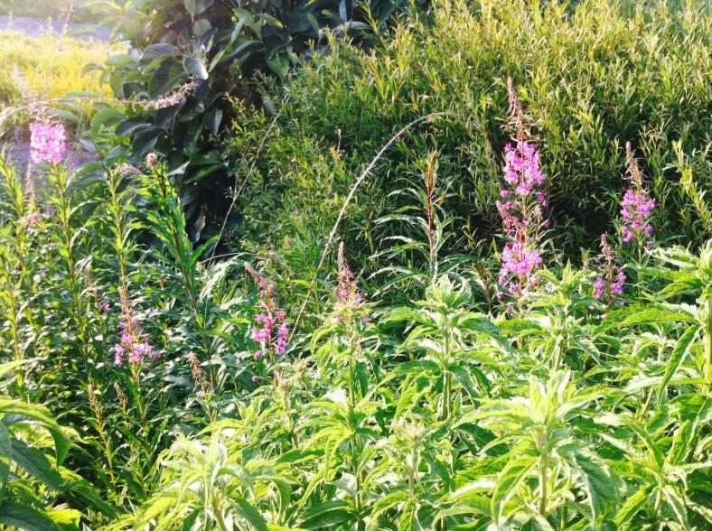 Des lupins roses se dressent au milieu de la végétation
