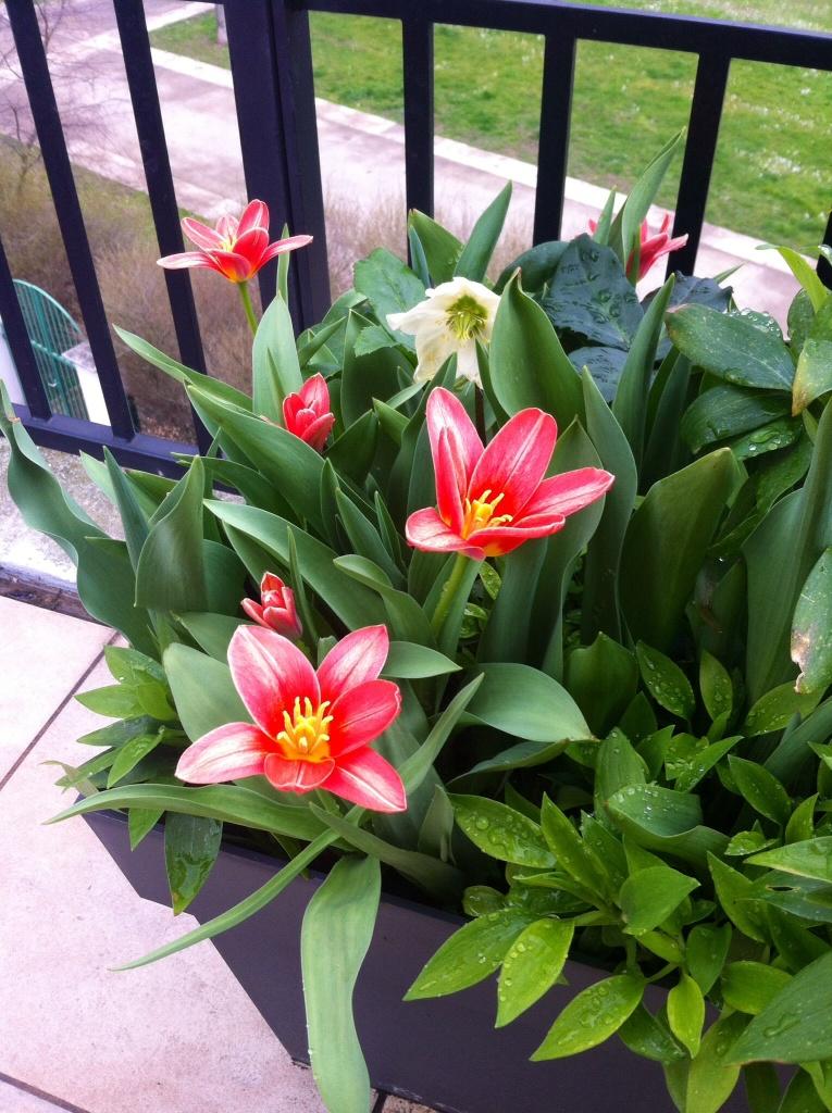 Tulipes en éclosion