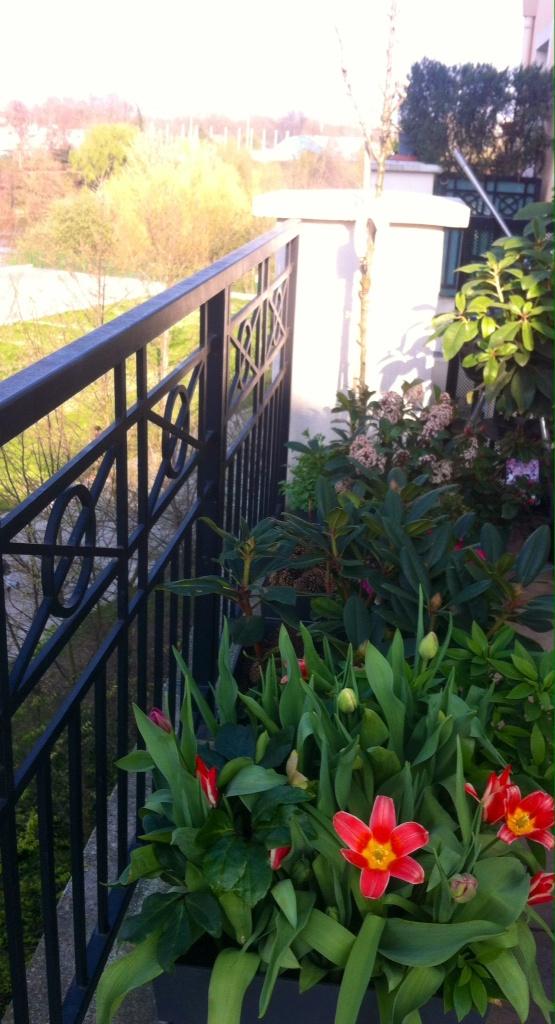 Notre pommier colonnaire Rondo, dans le coin ombre mais assez haut pour profiter des rayons de soleil l'après-midi
