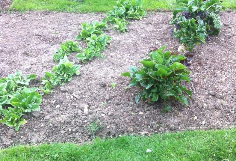 Culture de salades et blettes, en diagonalCulture de salades et blettes, en diagonal