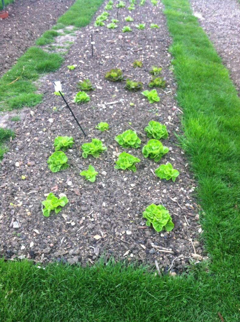 Parcelles de potager séparées par des allées de gazon, pour la propreté des lieux (plutôt que n'avoir que de la terre sous le pied) et pour réutiliser les tontes de gazon comme paillis naturel