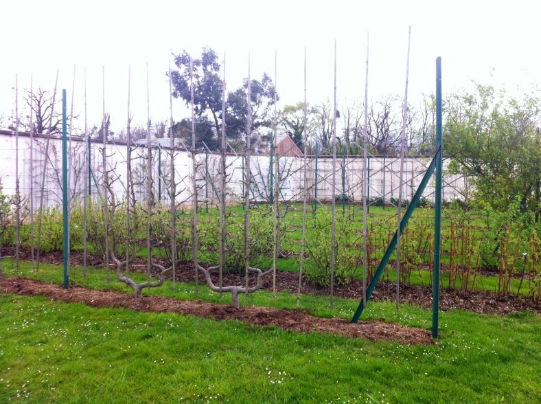 Arbustes fruitiers palissés en double U