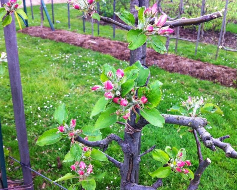 Zoom sur les fleurs des arbustes fruitiers palissés en double U