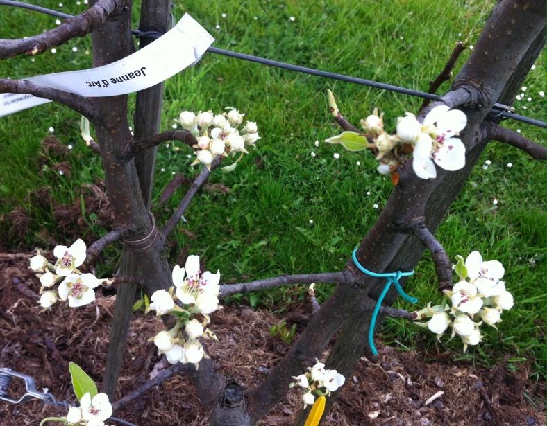 Zoom sur les fleurs des arbustes fruitiers palissés en double U (Jeanne d'Arc pour ceux qui n'arrivent pas à retourner leur écran ;) )