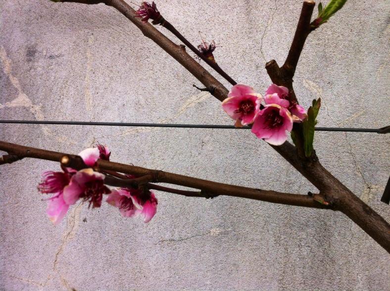 Bel arbuste en fleurs, le long des murs du potager