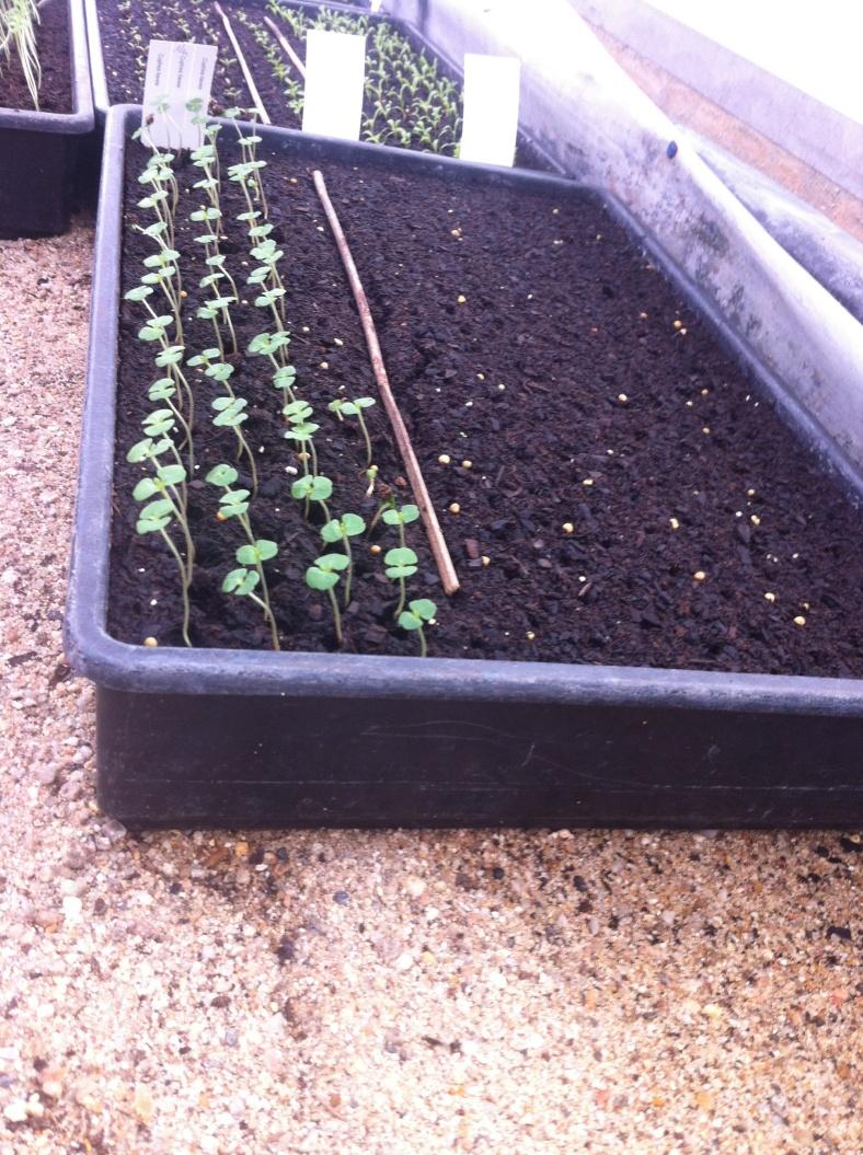 Exemple de terrine avec des germes, et un semis en cours : on peut donc étaler nos semis sur une même terrine comme au potager :)