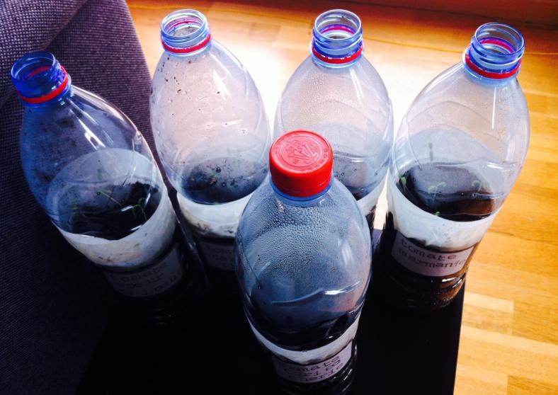 Méthode de semis en bouteilles à J+10, semis de tomates