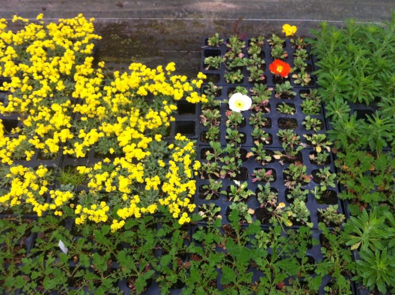 Les annuelles sont regroupées dans un petit coin, elles rejoindront le potager extérieur bientôt !