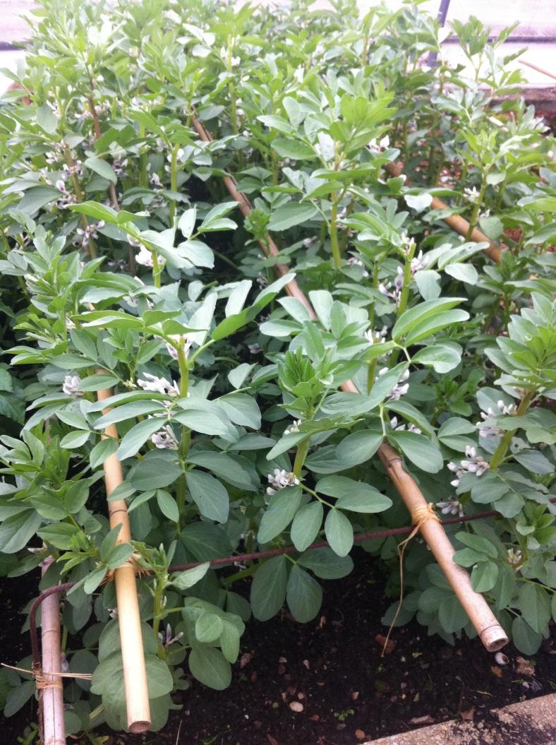 Fèves dans le potager, belle hauteur de la plante, à associer avec des capucines
