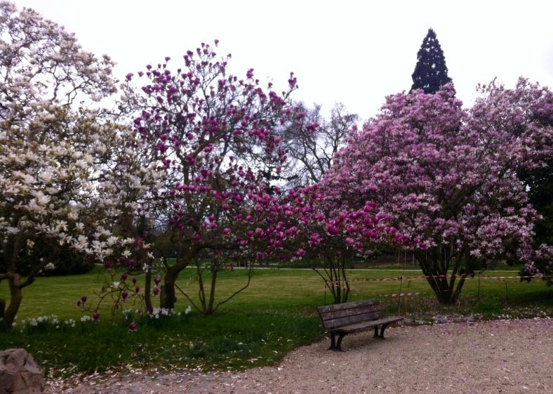 Entre le potager et la salle de cours, de magnifiques magnolias en fleurs dans différentes nuances pour nous saluer