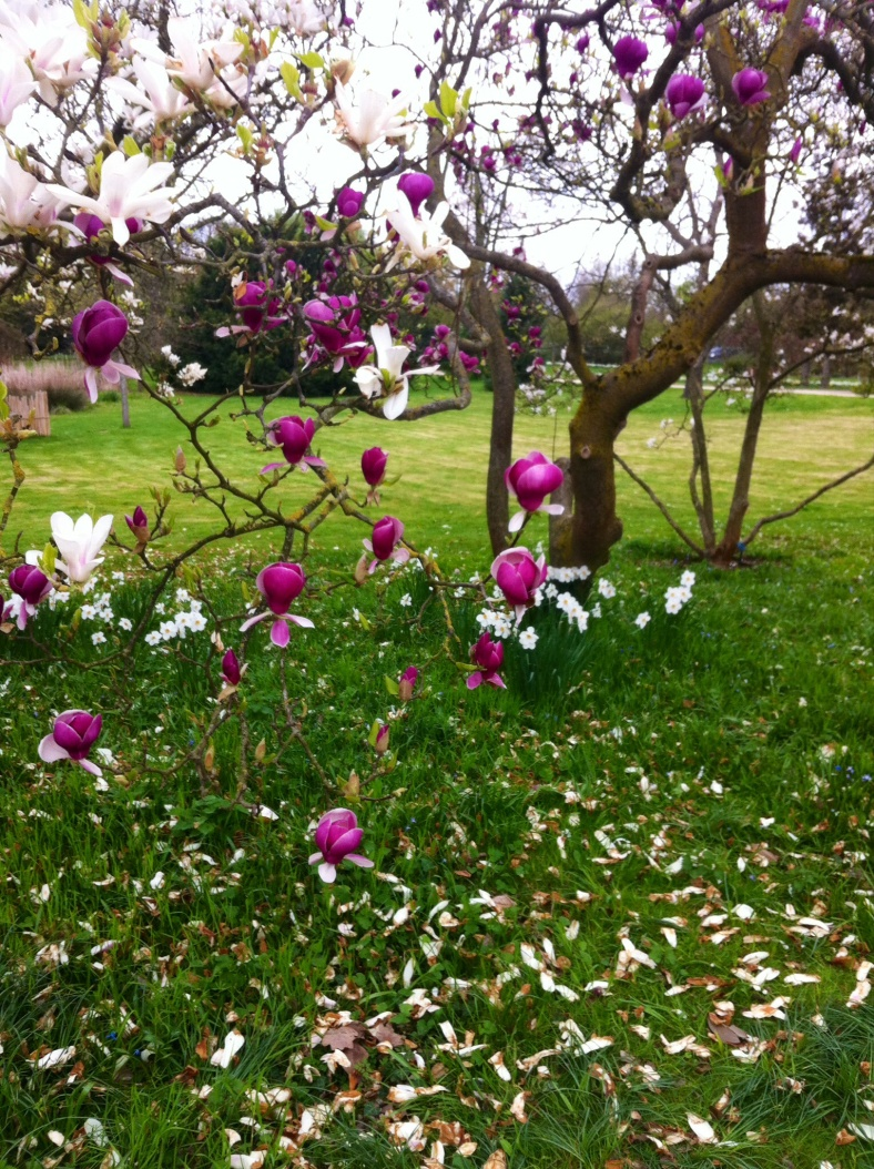 Croisement de branches de magnolias blanc et violet, sur fond de narcisses blancs délicats sur l'herbe