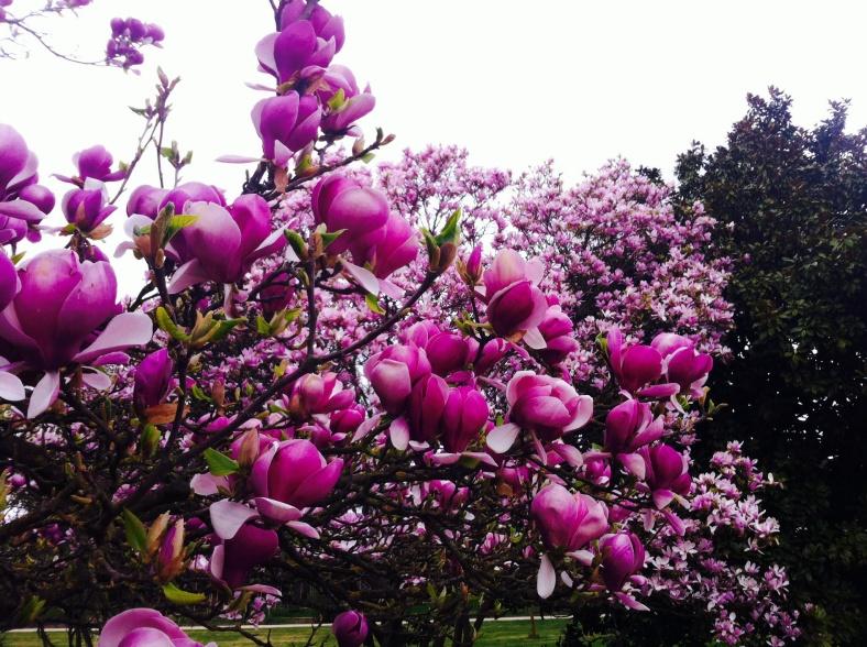 Magnolia violet en fleurs