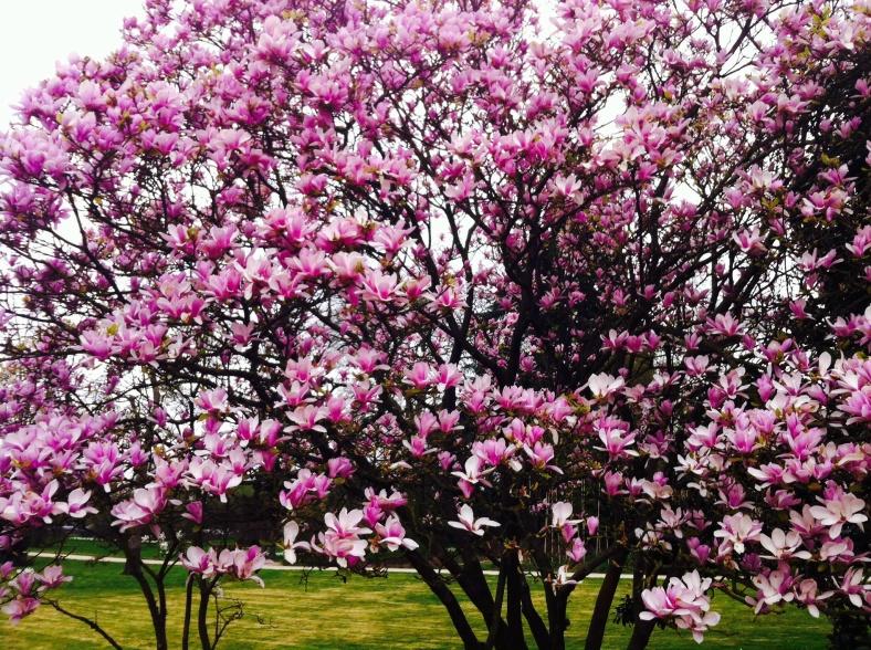 Magnolia rose pâle, comme dans un rêve