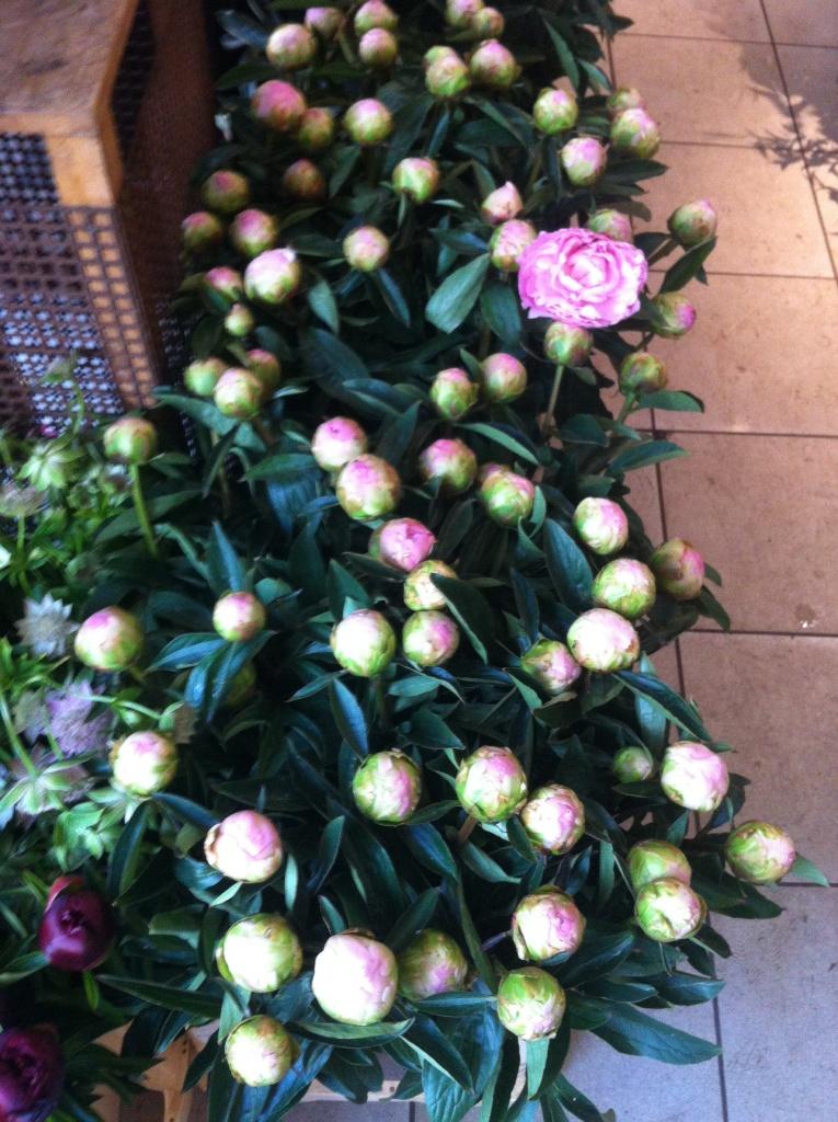 Boutons de pivoines roses