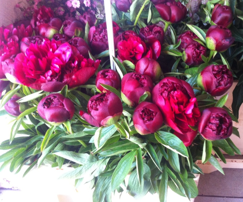 Pivoines rouges spectaculaires