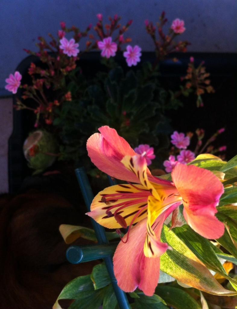 Lys des incas, qui poussait en petit pot l'année dernière (peu de fleurs), prend ici de l'ampleur dans son bac