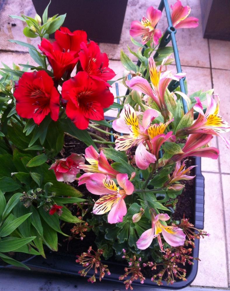 Bouquet de lys des Incas rouge et jaune/rose