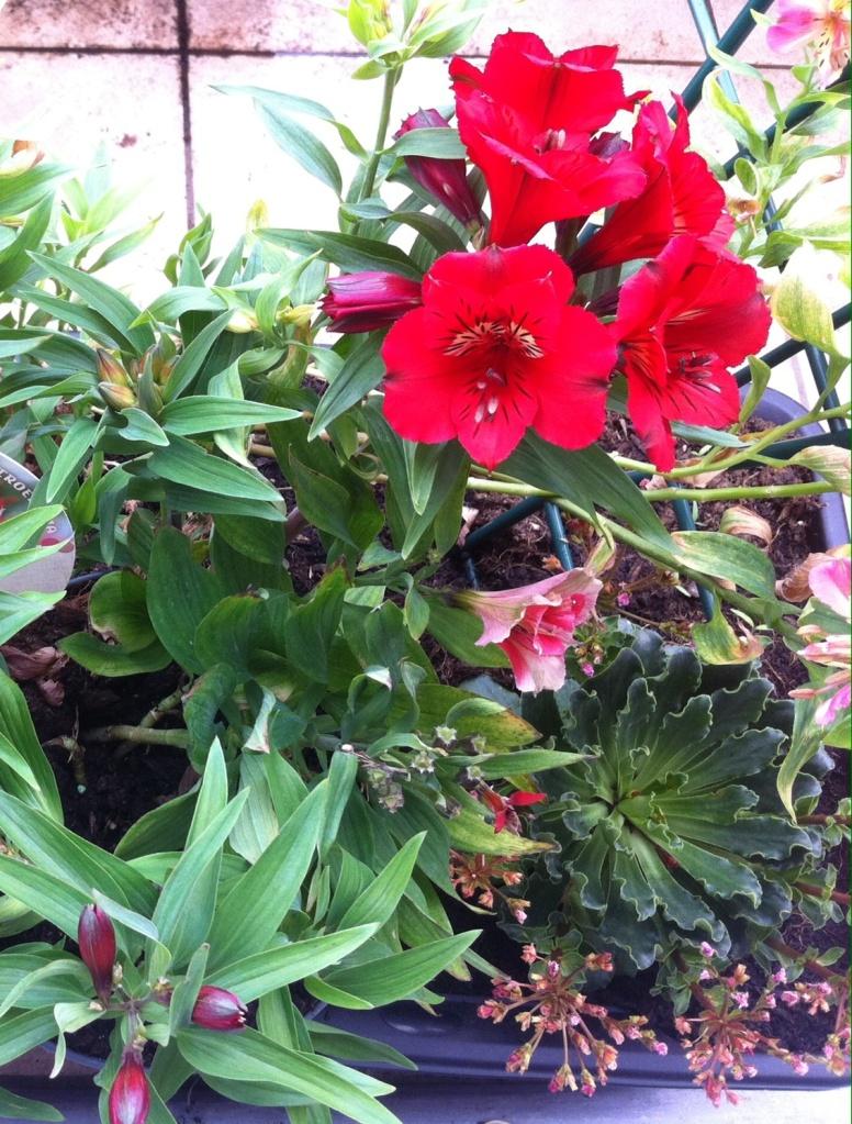 Lys des Incas rouge qui repart dans une nouvelle inflorescence