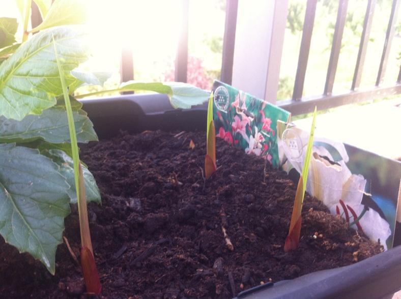 Mes glaïeuls dont les feuilles surgissent comme des sabres hors de terre ! 25/06/2015